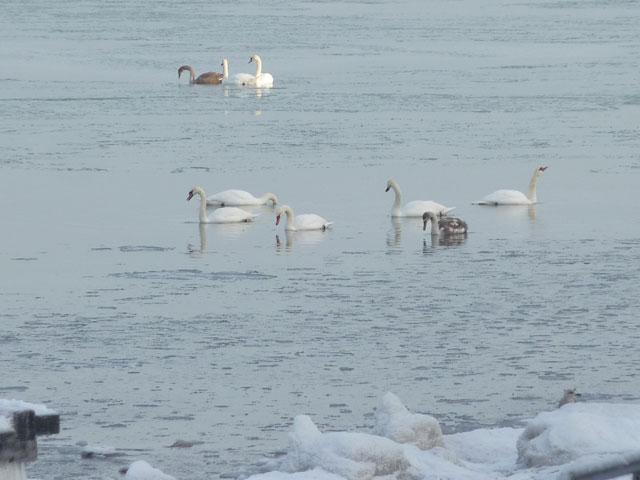 Schwäne auf der Ostsee